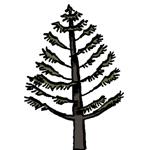 pin de l'Himalaya